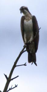 Adulter Fischadler. Bild © VLAB