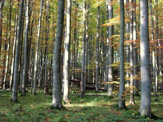 Laubwald mit Buchen