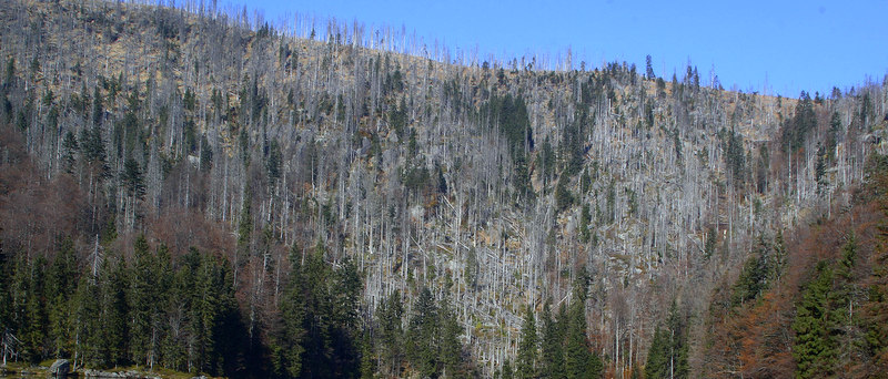 Die Borkenkäfer haben ganze Arbeit geleistet. Flächig abgestorbener Wald in Ostbayern.