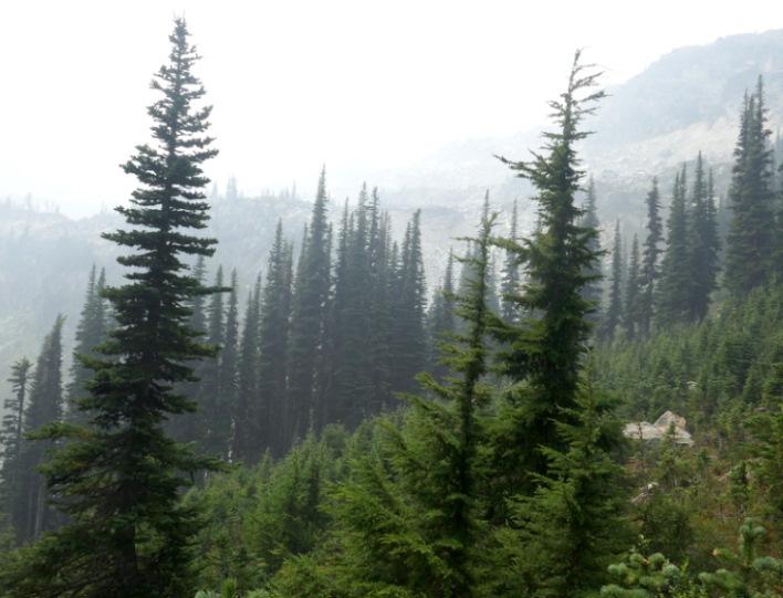 Schmalkronige, fast säulenförmige Baumrassen gehören zur natürlichen Waldzusammensetzung der Mittelgebirge und alpinen Waldökosysteme. Große Schneelasten gleiten rasch auf den Boden. Bild © VLAB